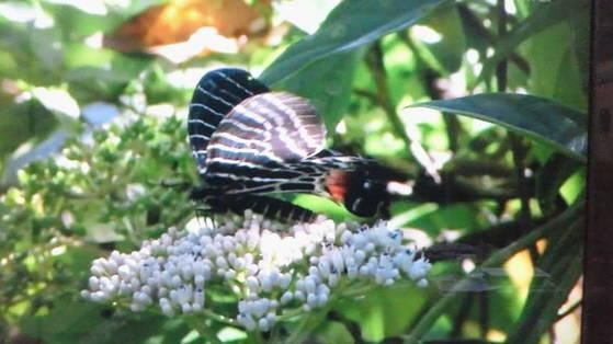 ブータンシンボリアケハ蝶