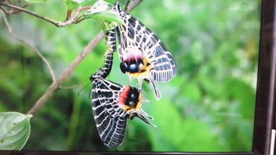交尾中のブータンシンボリアゲハ